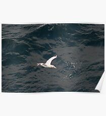 Lonesome Gannet on The Bay of Biscay Poster