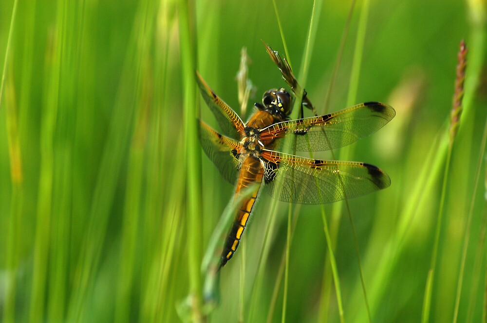 Four-spotted Chaser by Tim Collier