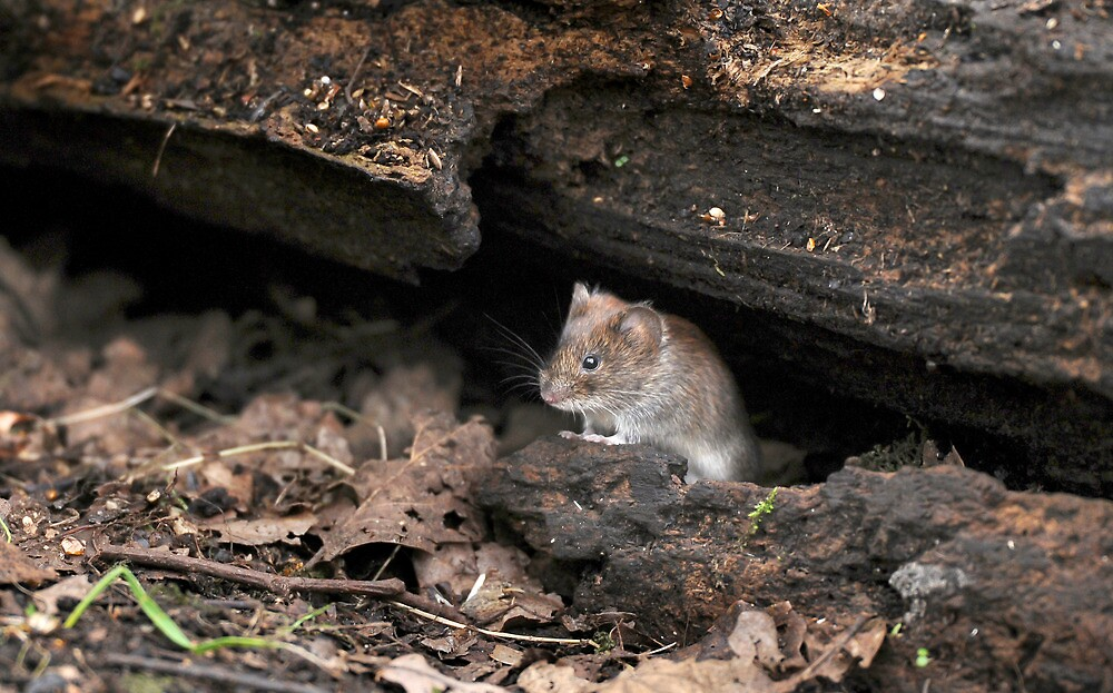 Wood Mouse by Tim Collier