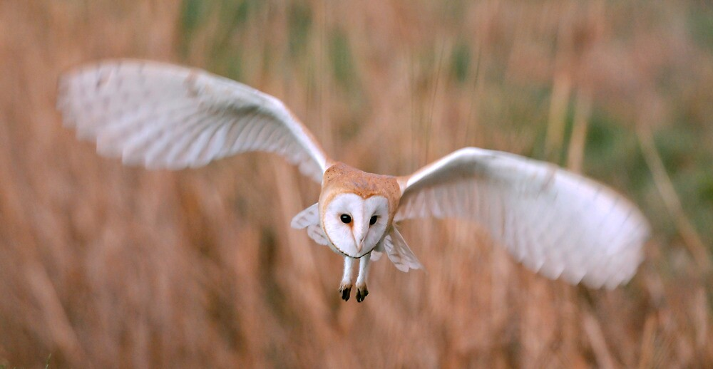 Barn Owl by Tim Collier