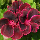 Geranium Flower by David Workman