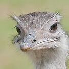 Ostrich, (Struthio camelus) by Foxfire