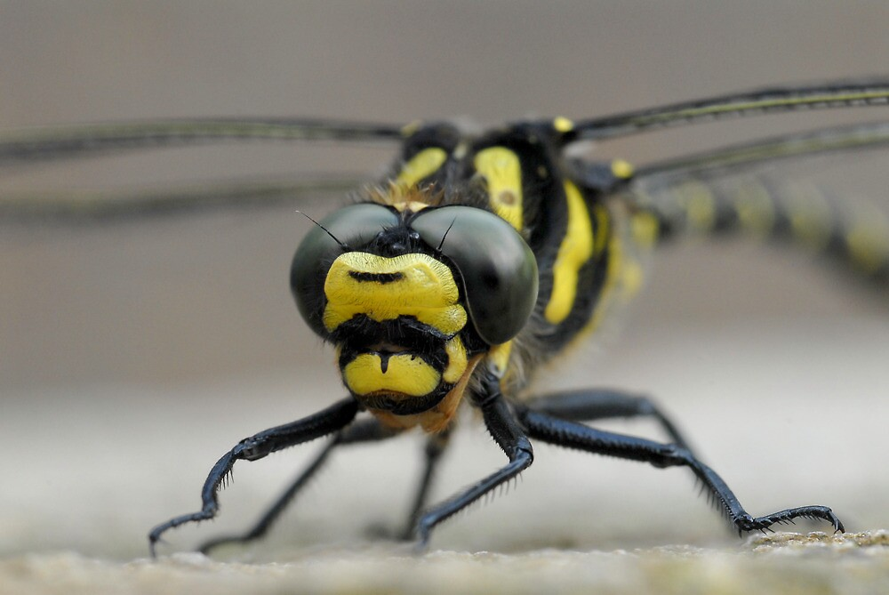 Southern Hawker Dragonfly by Tim Collier