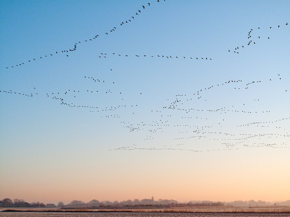 Pink-footed Geese, Early morning, Lancashire by Tim Collier