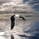Dominican Gull by Ken Wright