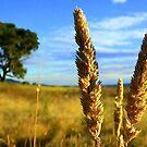 Wheat... by Rinaldo Di Battista