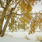 Golden Snowy Cottonwood by Bo Insogna