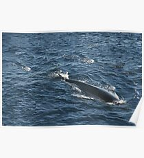 Fin Whale, Bay of Biscay Poster