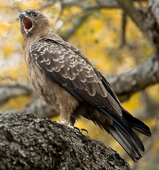 Wahlberg's Eagle by Michael  Moss