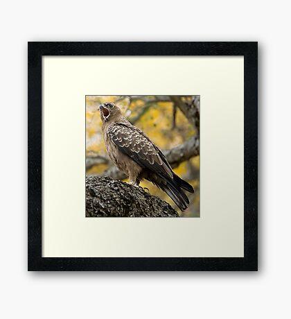 Wahlberg's Eagle Framed Print