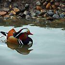 Mandarin duck by Meladana