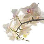 Orchids by Ann Garrett