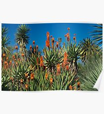 Cactus Flower in Huntington Library in LA, CA Poster
