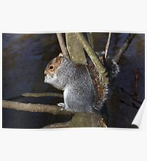 Grey Squirrell Poster