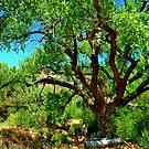Cottonwood tree, Jemez Springs, New Mexico by F.  Kevin  Wynkoop