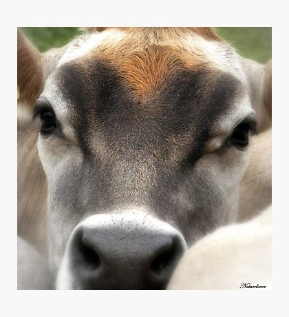 Cow  Eyes Photographic Print