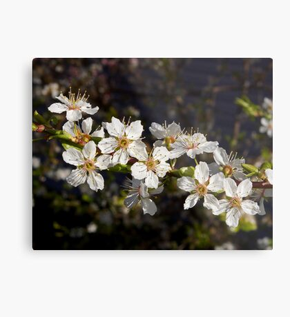 crystal clear cherry blossoms Metal Print