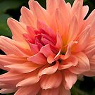 Dahlia 'Touche' by Shadow Lighthorse