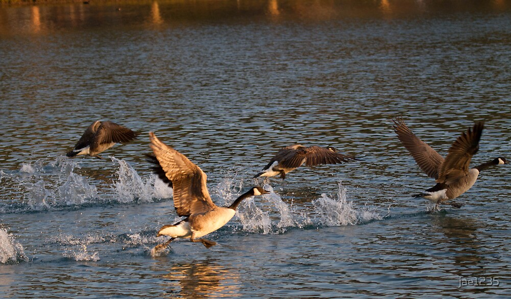 Geese taking flight 1 by jae1235