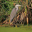 Grey Heron, October 2019 by RedHillDigital