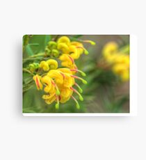 Grevillea Goldrush Canvas Print