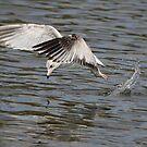 Seagull Dive by Deborah  Benoit