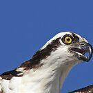 Osprey up close by Anthony Goldman