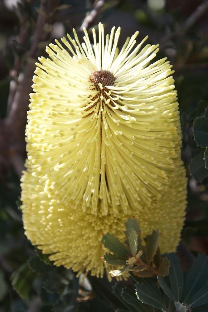 Banksia 2 by Jack Bridges