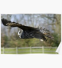 Great Grey Owl in flight Poster