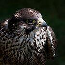 Hawk by Foxfire