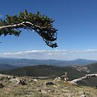 Bristlecone Pine by tscp