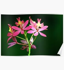 Pink Epidendrum Orchid Poster