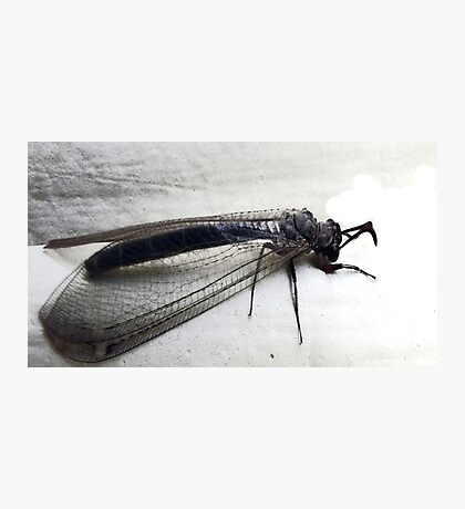 Antlion Lacewing Insect Photographic Print