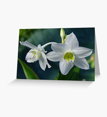 Eucaris Lily (Amazon Lily) Greeting Card