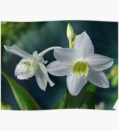 Eucaris Lily (Amazon Lily) Poster