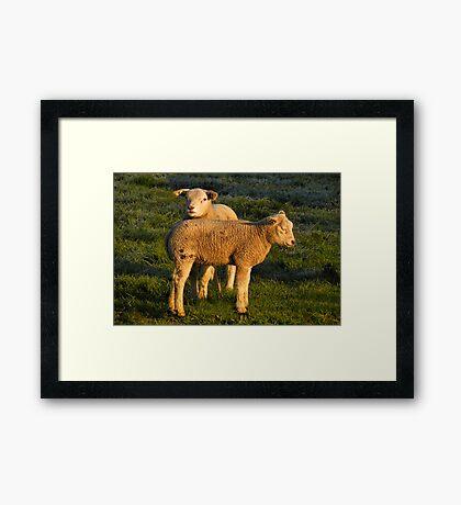 Lamb in Spring Light Framed Print
