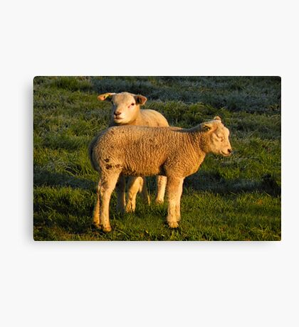 Lamb in Spring Light Canvas Print