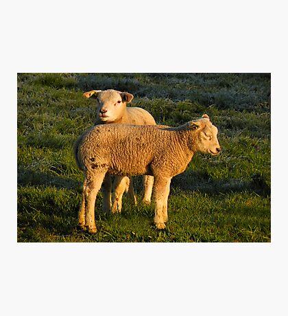 Lamb in Spring Light Photographic Print