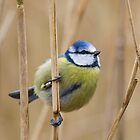Blue Tit by Peter Stone