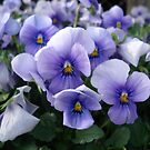 PRETTY PANSIES by May Lattanzio