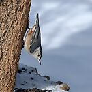 White Breasted Nuthatch by jules572