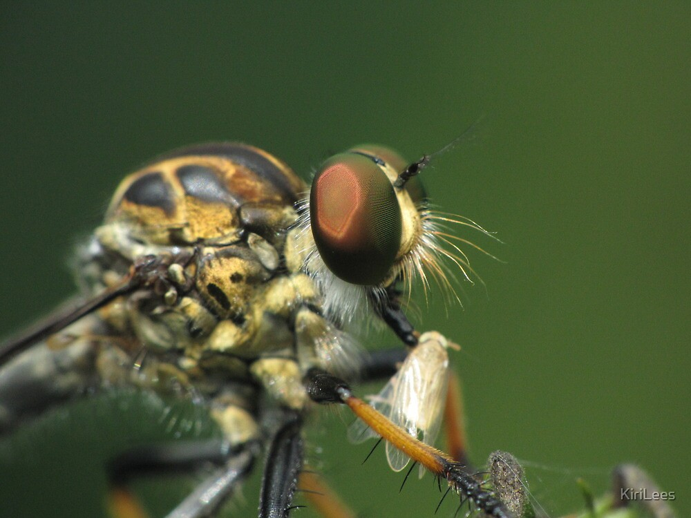 Robberfly Eating Another Bug!! by KiriLees