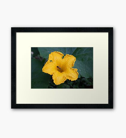 A Bee in the Pumpkin Patch Framed Print