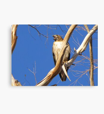 Red-tailed Hawk ~ Protective Female Canvas Print