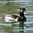 Ring-necked Duck ~ Male by Kimberly Chadwick