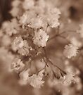Alchemilla in sepia tones by millymuso