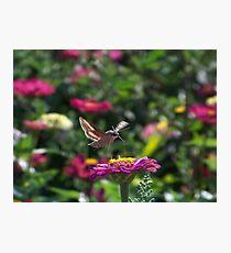 The Hummingbird Moth Photographic Print