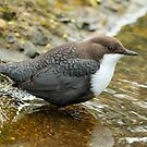 Adult White-Throated Dipper by Robert Abraham