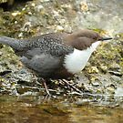 Another Dipper by Robert Abraham