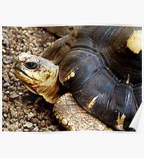 T for Tortoise Poster